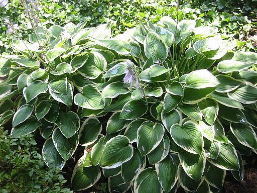 Hosta Plants