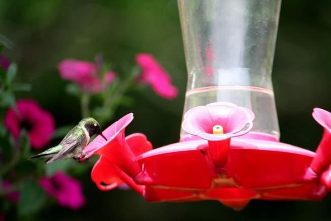 Hummingbird Feeding/ And Feeder Maintenance