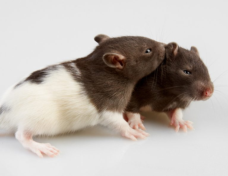 Who to Take Home? Male and Female Rats