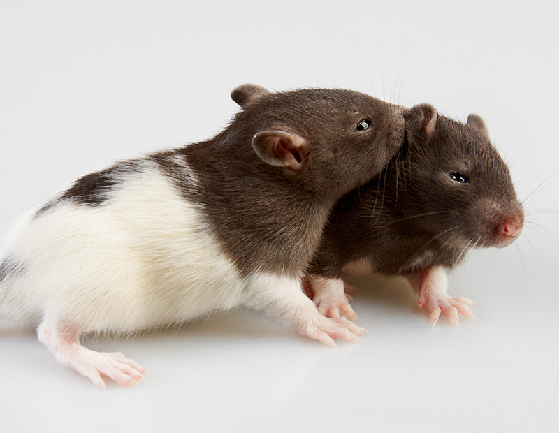Can Male And Female Rats Live