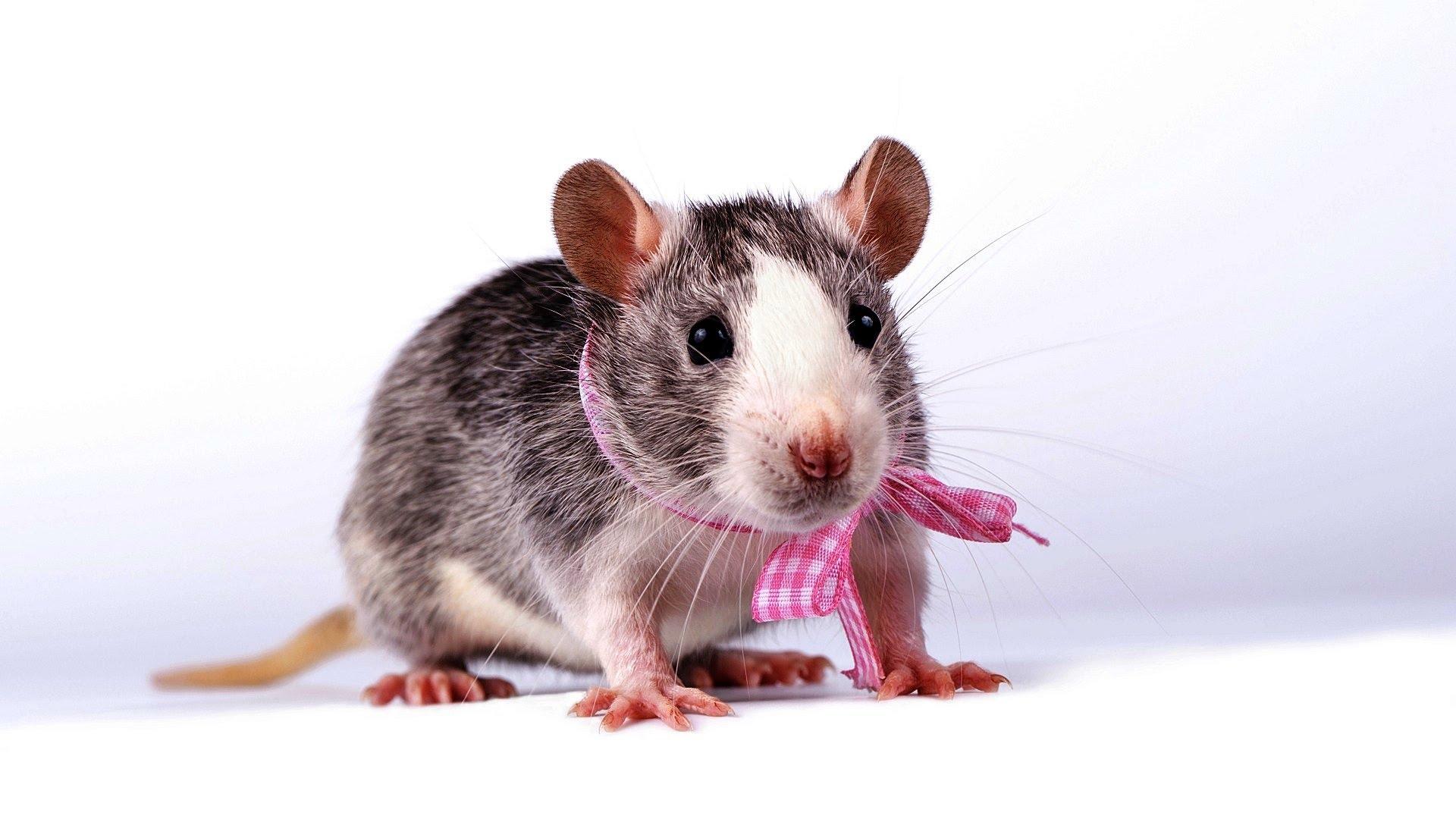 Male vs Female Rats