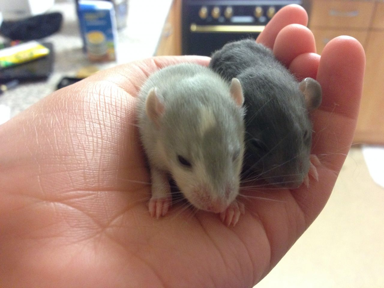 male and female baby rats