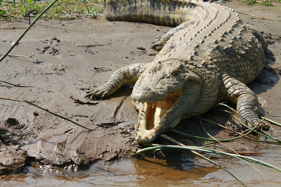 Why Are Nile Crocodiles Invading Florida